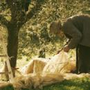 Making olive oil in Tuscany: come to pick the olives with us!