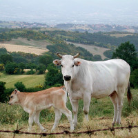 Chianina_cow_and_calf,_Tuscany