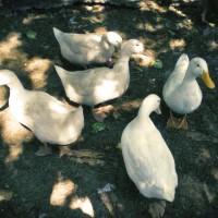 agriturismo-con-pollame-e-animali