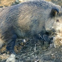 arezzo-boar