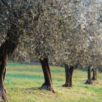 Valtiberina - Olive trees
