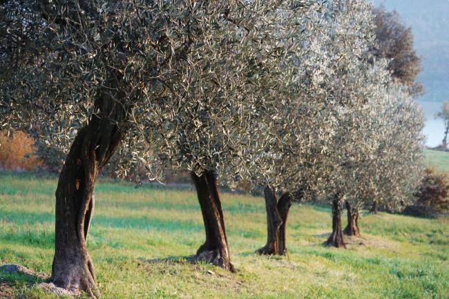 Italian_olive_oil (4)
