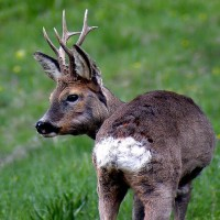 Valtiberina - wild deer