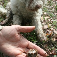 Looking for truffles with dog